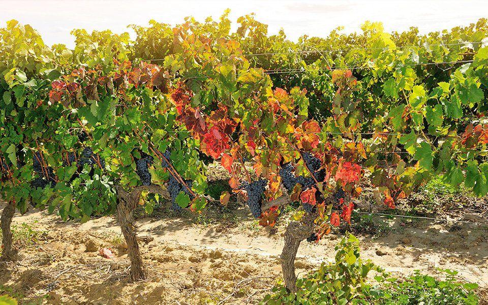 cave cooperative capestang vins
